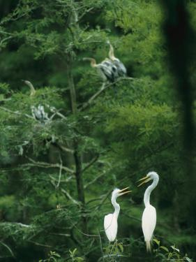 A Pair of Egrets and a Pair of Anhingas Sit on Tree Branches by Taylor S. Kennedy