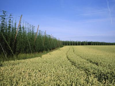 Barley and Hop Fields Grown For Beer by Taylor S. Kennedy