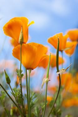 California Poppies in the Gardens of Royal Roads University by Taylor S. Kennedy