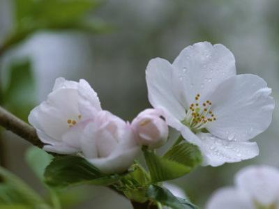Close View of a Cluster of Cherry Blossoms in Rock Creek Park by Taylor S. Kennedy
