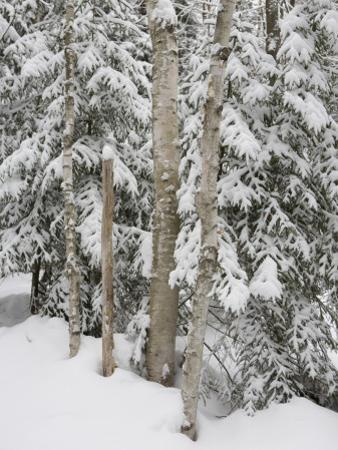 Stand of Birch Trees on a Snowy Day by Taylor S. Kennedy