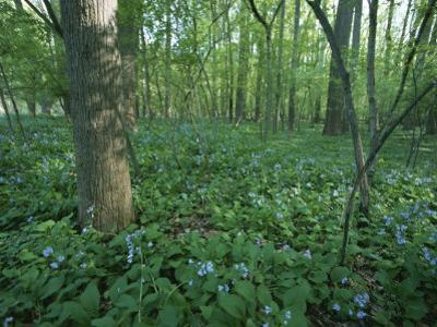 Virginia Bluebells Around a Tree in Rock Creek Park by Taylor S. Kennedy