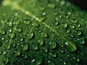 Water Drops and Droplets on a Leaf by Taylor S. Kennedy