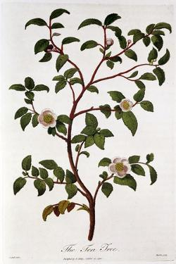 Tea: Branch of Camellia Sinensis, 1798