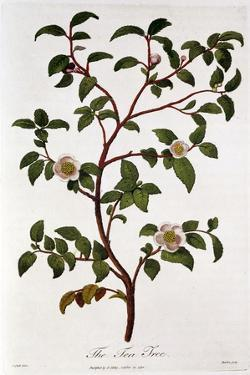 Tea: Branch of Camellia Sinensis, 1798