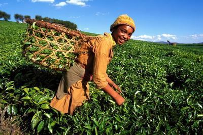 https://imgc.allpostersimages.com/img/posters/tea-harvest-on-sahambavy-estate-near-fianarantsoa-madagascar_u-L-Q1GYJGA0.jpg?artPerspective=n