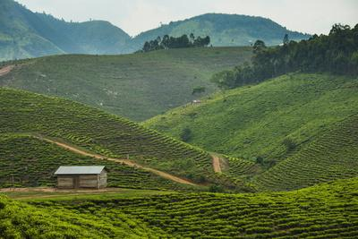 https://imgc.allpostersimages.com/img/posters/tea-plantation-in-the-mountains-of-southern-uganda-east-africa-africa_u-L-PQ8PBN0.jpg?p=0