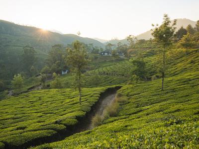 https://imgc.allpostersimages.com/img/posters/tea-plantations-near-munnar-kerala-india-south-asia_u-L-Q12SDTM0.jpg?artPerspective=n