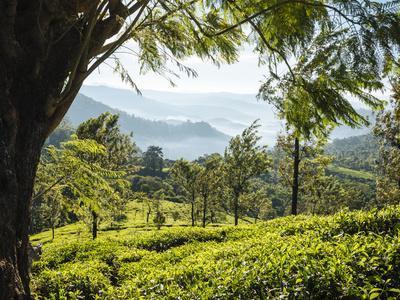 https://imgc.allpostersimages.com/img/posters/tea-plantations-near-munnar-kerala-india-south-asia_u-L-Q12SDV10.jpg?p=0