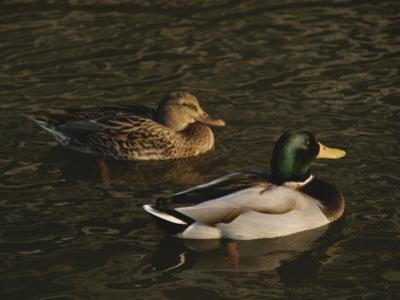A Pair of Mallard Ducks Go for a Swim