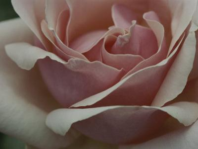 Close View of a Pink Rose Blossom