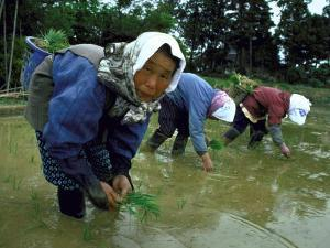 Women Planting Rice in Paddy, Kurobe, Toyama Prefecture by Ted Thai