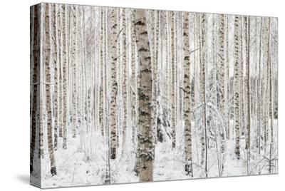 Close-Up of a Birch Wood in Winter in Finland by Teemu Tretjakov