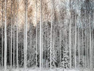Snowy Tees in a Row by Teemu Tretjakov