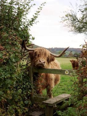 Highland Cow by Tek Image