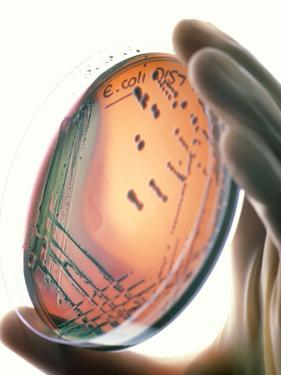 Petri-dish Culture of Escherichia Coli 0157:H7 by Tek Image