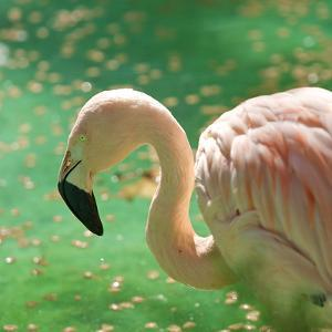 Pink Flamingo by Teo Barker