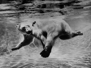 Polar Bear Swimming Underwater at London Zoo by Terence Spencer