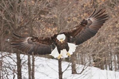 Bald Eagle flying in Winter in Michigan by Teresa McGill