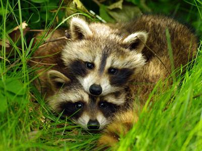 A Portrait of Two Raccoon Kits in Grass by Terri Moore