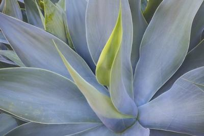 Agave Plants on the Island of Maui by Terry Eggers