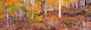 Aspen Grove Autumn Color, Logan Canyon, Utah, USA by Terry Eggers