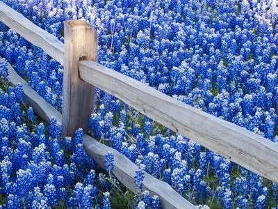 Bluebonnets Along Fenceline