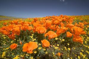 California Poppies by Terry Eggers