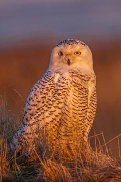 Canada, British Columbia, Snowy Owl Waiting for Prey by Terry Eggers