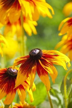 Cherokee Sunset Cone Flowers in Bloom by Terry Eggers