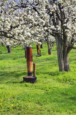 Cherry Orchards of the Oregon Columbia Gorge by Terry Eggers
