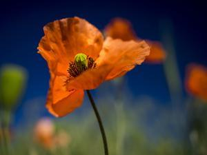 Close up of Fire Poppy by Terry Eggers