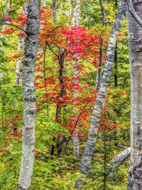 Fall color in the hardwood forest of the Upper Peninsula by Terry Eggers