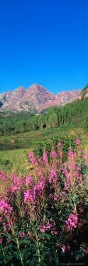 Fireweed in Spring with Maroon Bells, Colorado, USA by Terry Eggers