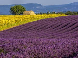 France, Provence, Old Farm House in Field of Lavender and Sunflowers by Terry Eggers