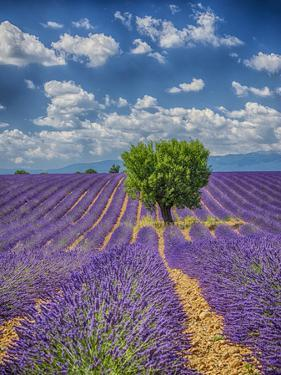 France, Provence, Valensole, Lone Tree in Lavender Field by Terry Eggers