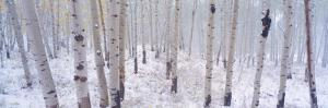 Fresh Snow on Autumn Aspens, Kebler Pass, Colorado, USA by Terry Eggers