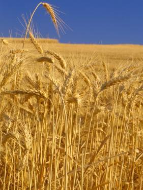 Harvest Time Wheat Crop, Palouse, Washington, USA by Terry Eggers