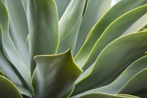 Hawaii, Maui, Agave Plant with Fresh Green Leaves by Terry Eggers