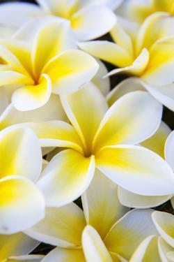 Hawaii, Maui, Plumeria in Mass Display by Terry Eggers