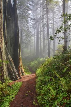 Hiking Trail in the Redwoods by Terry Eggers