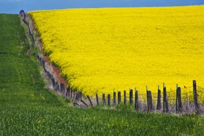 Idaho, Grangeville, Canola Field in Full Fresh Bloom Along Fence by Terry Eggers
