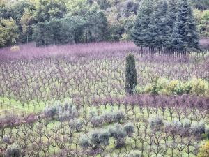 Italy, Montepulciano, Almond Grove in the Autumn Season by Terry Eggers