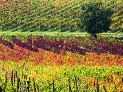 Italy, Montepulciano, Autumn Vineyards by Terry Eggers