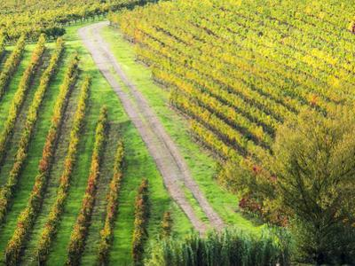Italy, Montepulciano, Road through Autumn Vineyards by Terry Eggers