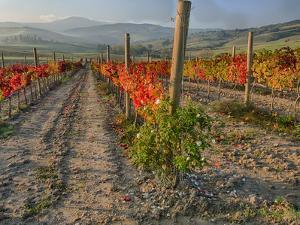 Italy, San Quirico, Autumn Vineyard in full color near San Quirico by Terry Eggers
