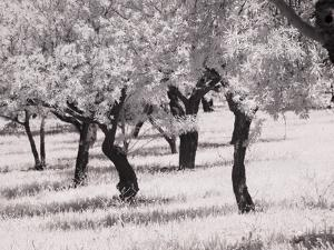 Italy, Sicily, Agrigento. Olive grove on the grounds of ancient Agrigento by Terry Eggers