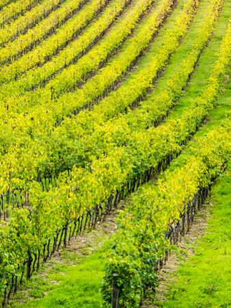 Italy, Tuscany, Autumn Vineyards in Southern Tuscany by Terry Eggers