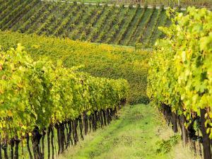 Italy, Tuscany, Chianti, Autumn Vineyard Rows by Terry Eggers