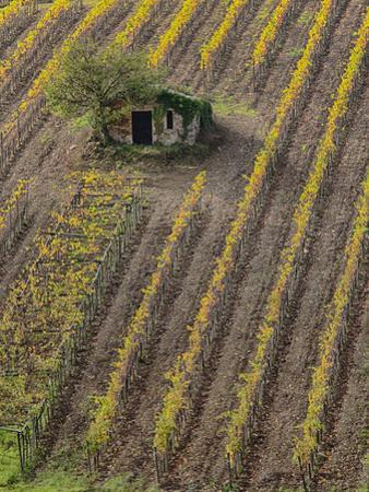 Italy, Tuscany, Monticiano, Small Shed in Harvest Vineyard by Terry Eggers